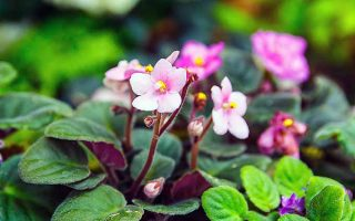 Into the Cloning Vats: Easily Propagating African Violets