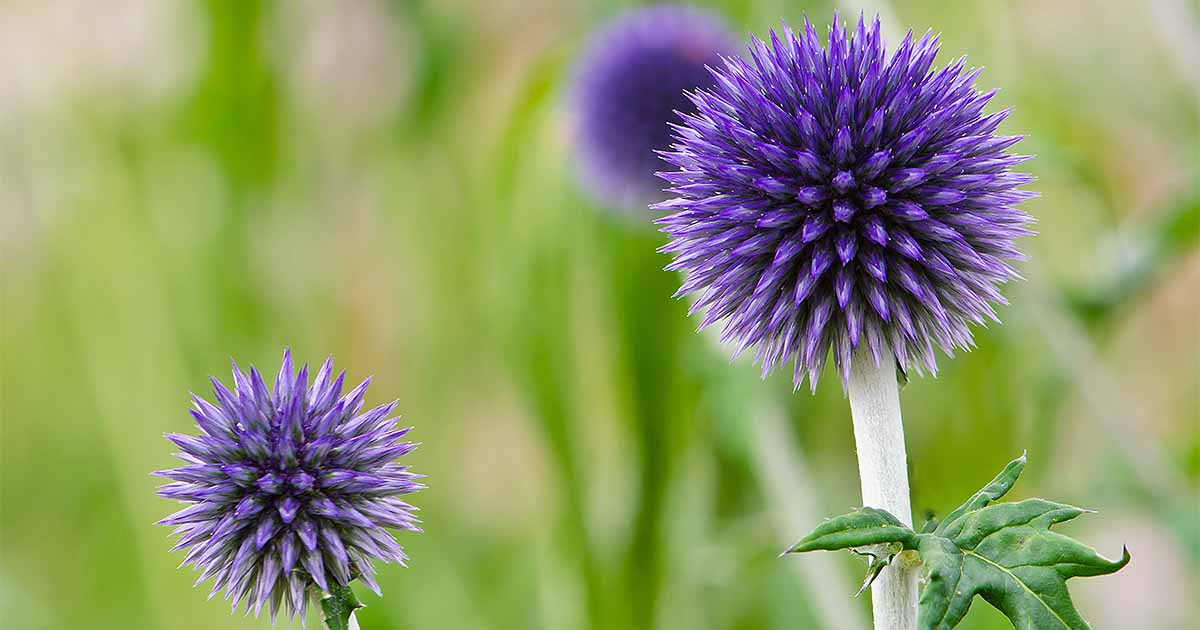 How To Grow Small Globe Thistle Gardener S Path
