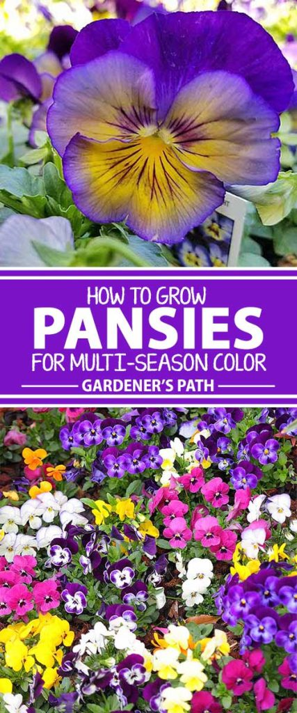 A collage of photos showing wide variety of colors of pansies and violas in bloom.