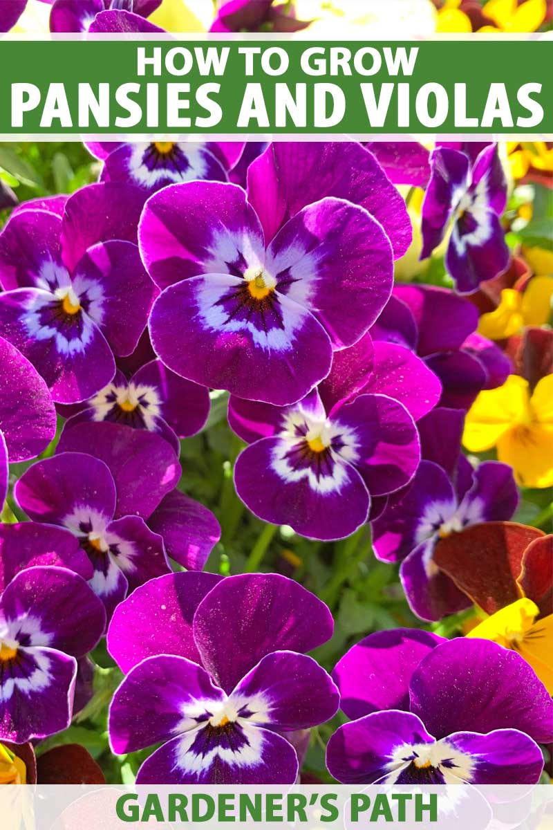 Purple pansies with white center in bloom.