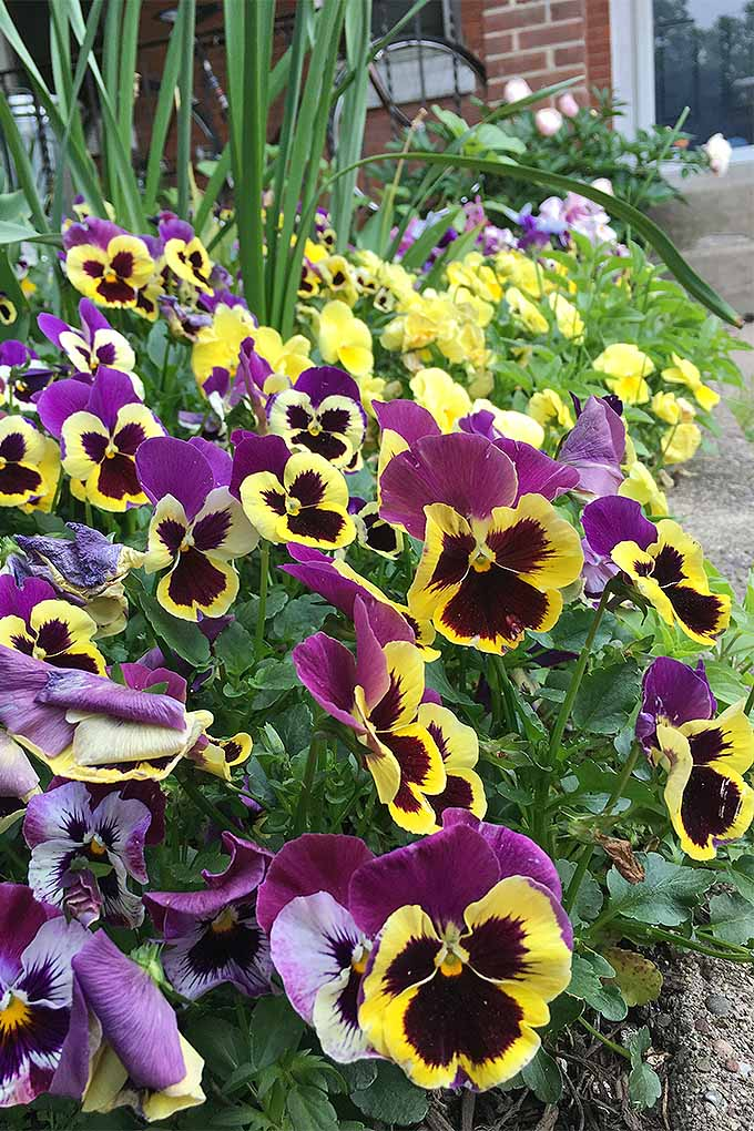 Did you know pansies are edible flowers? We'll teach you how to grow them in your garden to add beautiful color to salads and desserts: https://gardenerspath.com/plants/flowers/grow-pansies/