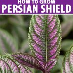 Close of the purple and green leaves of Strobilanthes dyerianus or Persian shield.