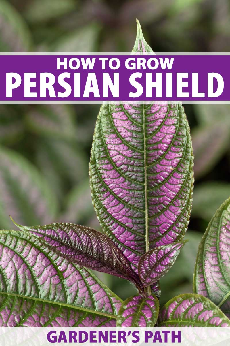 All About the Purple Persian Shield Plant | Gardener's Path on poisonous plants with purple leaves, house plants with dark red leaves, tomato plants with purple leaves, house plants and their names, purple foliage plants with leaves, wandering jew with fuzzy leaves, house plant purple heart, florida plants with red leaves, house plants with small leaves, house plant rubber plant, purple house plant fuzzy leaves, olive tree green leaves, house plants with bronze leaves, house plants with colorful leaves, house plants with shiny leaves, house plants with light green leaves, house with red flowers, house plants with long green leaves, house plants with waxy red blooms, perennial plants with purple leaves,