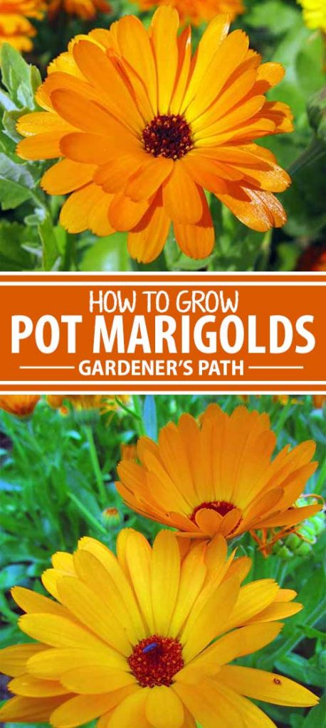 Are you familiar with Calendula officinalis, a medicinal and culinary herb with a past dating to medieval days? Called pot marigold, this cheerful flowering annual brightens sunny borders and patio containers from early spring to frost. It's a winner you need to learn about, here on Gardener's Path.