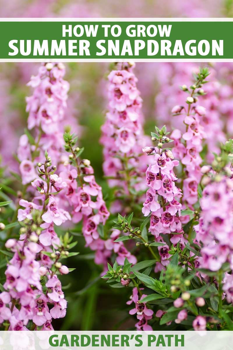 Pink blooming summer snapdragon plants growing in a flower bed.
