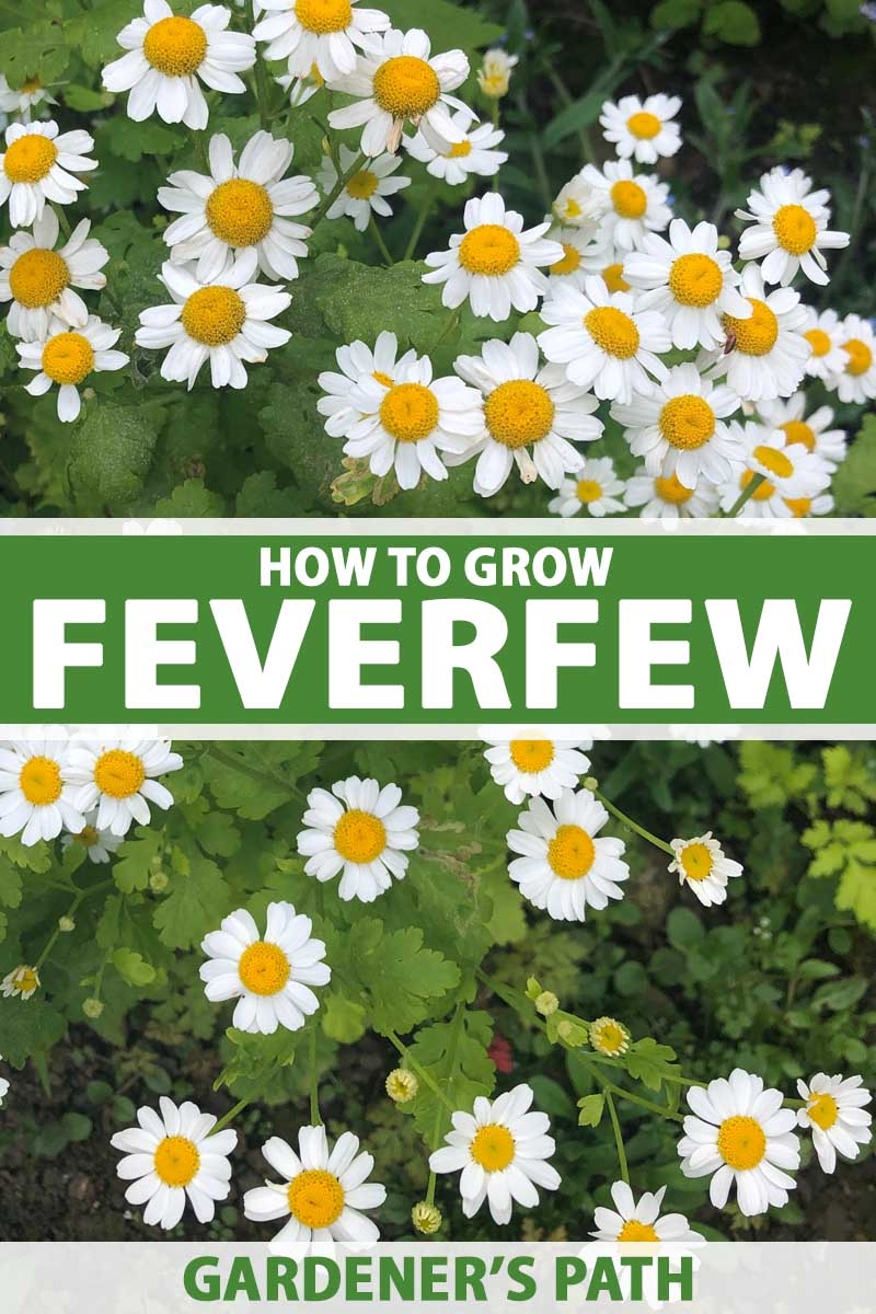 A close up vertical image of a feverfew plant in bloom with daisy-like white flowers with yellow centers. To the center and bottom of the frame is green and white printed text.