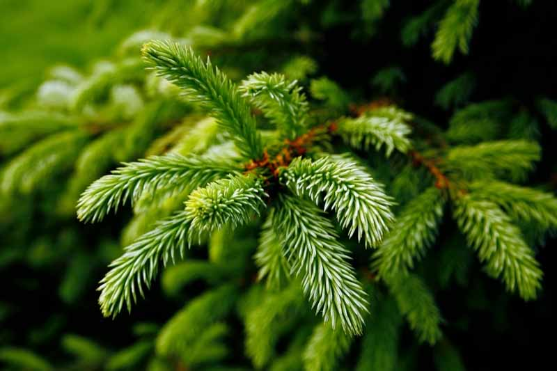 Close up image of the needles of an evergreen tree.