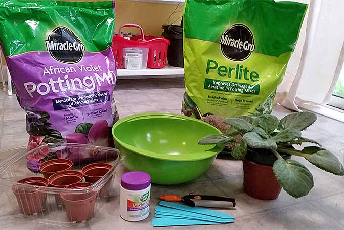 Into the Cloning Vats: Easily Propagating African Violets | GardenersPath.com