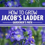 A collage of photos showing different views of blue Jacob's Ladder flowers in bloom.