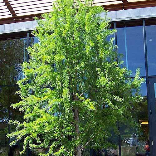 Mini Bald Cypress | GardenersPath.com