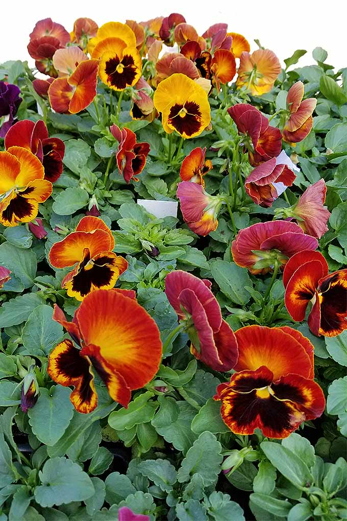 Pansies will bloom in the spring, summer, and fall - and sometimes even the winter! Check out our tips for growing these cold-hardy bloomers: https://gardenerspath.com/plants/flowers/grow-pansies/