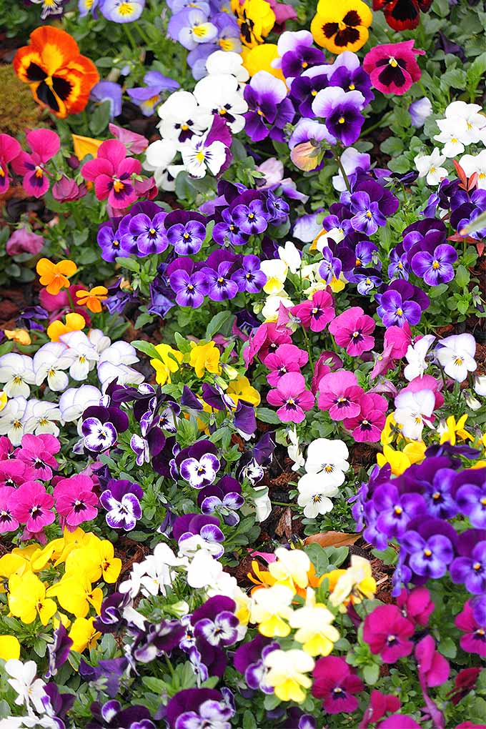 Viola tricolor, or pansies, come in an amazing array of colors. Whether you're looking for pastels or bolder hues to add to your garden, read more to learn why this is the plant for you: https://gardenerspath.com/plants/flowers/grow-pansies/
