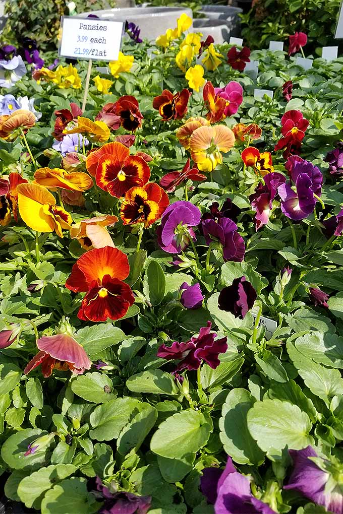 How To Grow Pansies And Violas For