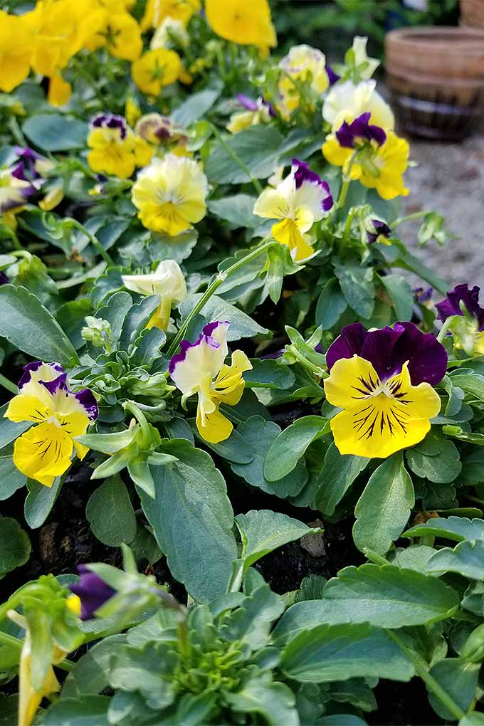 Viola tricolor 'Colormax' - beautiful, isn't it? Check out our tips for growing pansies: https://gardenerspath.com/plants/flowers/grow-pansies/