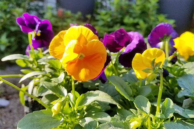 Pansy Cultivars and Cultivation Tips | GardenersPath.com