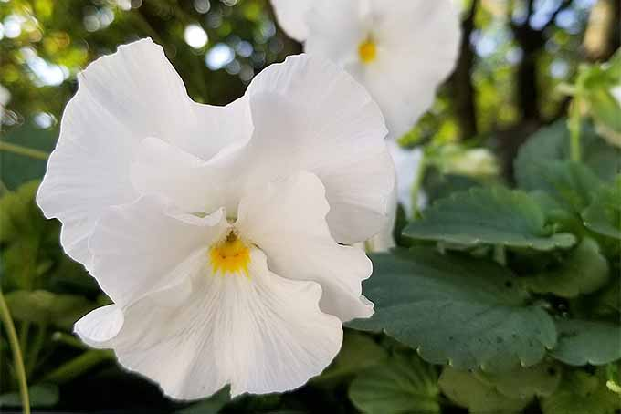 Tips for pansy cultivation | GardenersPath.com