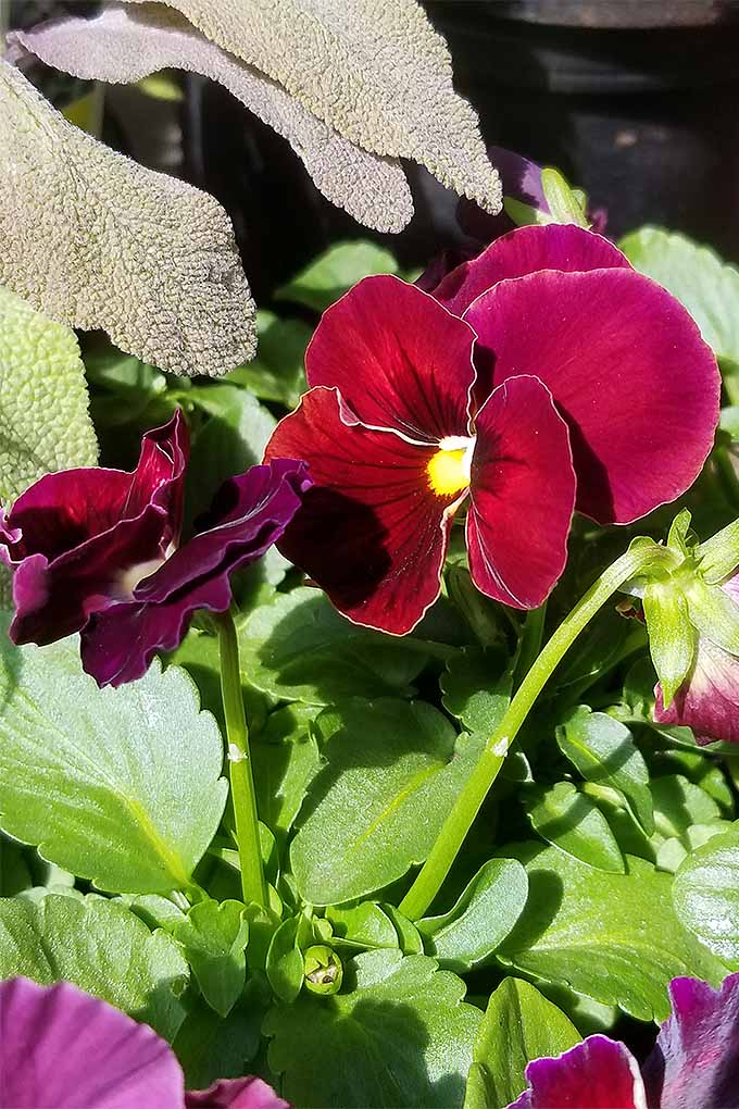 Want to add a splash of color to your flowerbeds? Pansies are the answer! We share our tips for cultivation: https://gardenerspath.com/plants/flowers/grow-pansies/