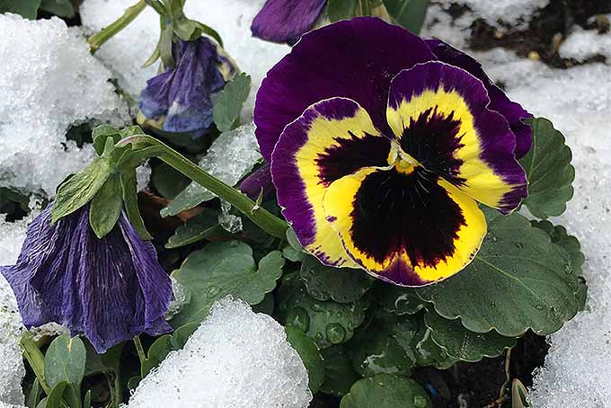 A purple and yellow pansy in the snow | GardenersPath.com