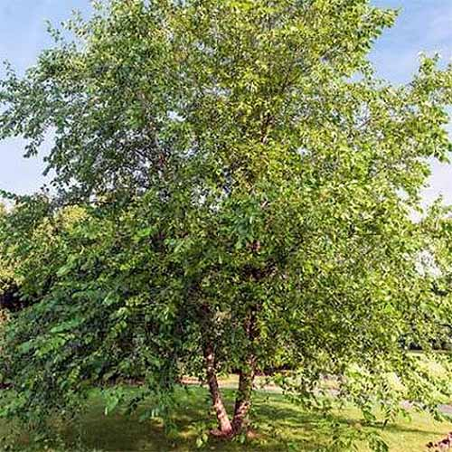 Paper Birch Tree | GardenersPath.com