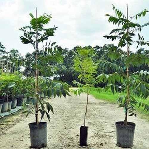 Pawnee pecan saplings | GardenersPath.com