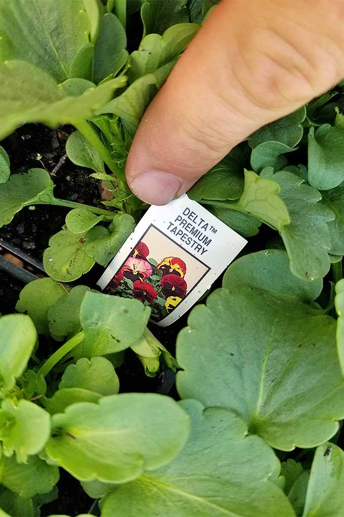 Want to add a burst of color to your garden? We'll teach you everything you need to know to grow gorgeous pansies: https://gardenerspath.com/plants/flowers/grow-pansies/