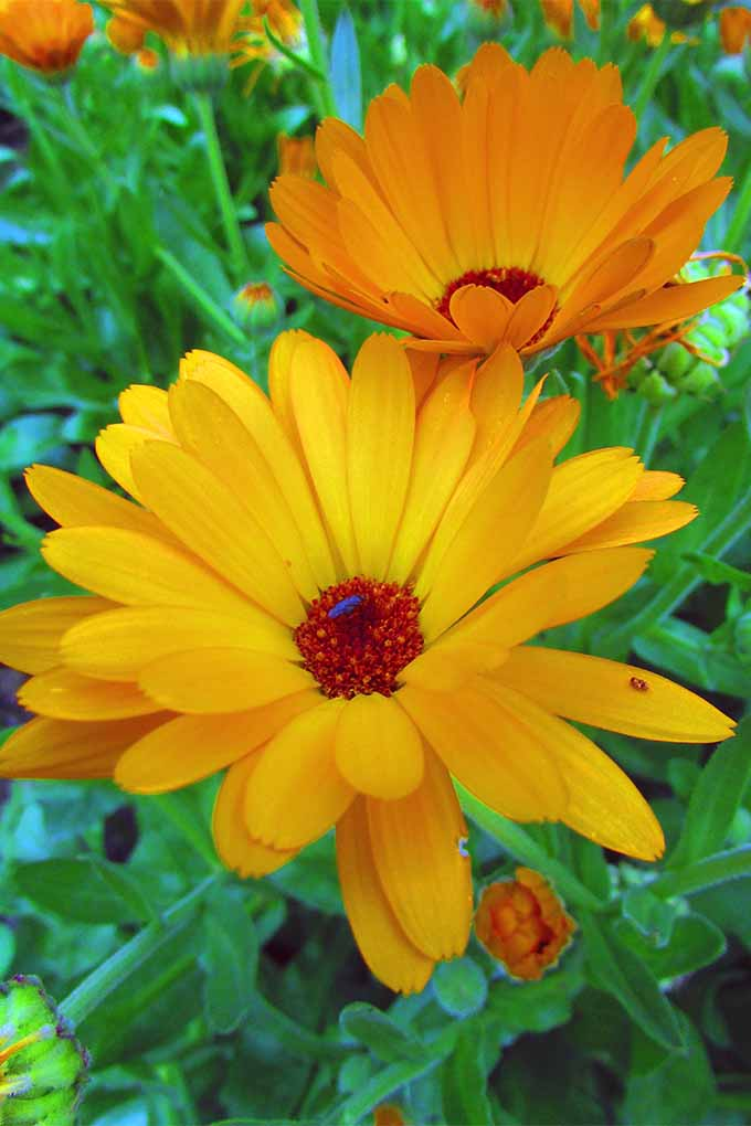 Harvest whole pot marigold heads for use in herbal preparations that soothe and heal: https://gardenerspath.com/plants/flowers/pot-marigold/