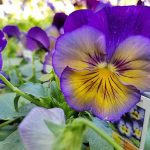 Project Pansy: Cranking Color Up to 11 | GardenersPath.com