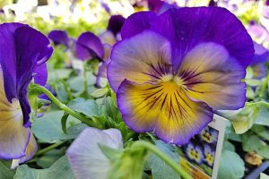 How to Grow Pansies and Violas for Multi-Season Color