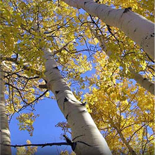 Quaking Aspen Tree | GardenersPath.com
