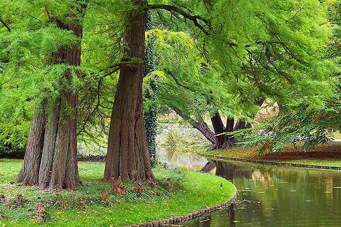 Redwoods | GardenersPath.com