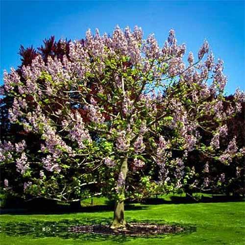 Royal Empress Paulownia | GardenersPath.com