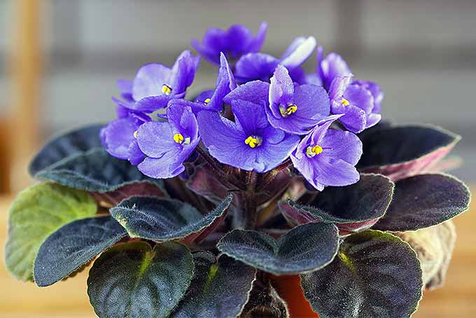 Bluish purple blooming Saintpaulia | GardenersPath.com