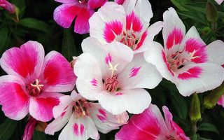Satin Flowers | GardenersPath.com