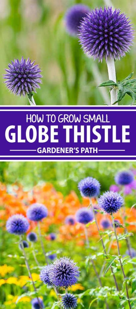 Are you tired of the same old plants in the garden? Here's a fresh and exciting one – small globe thistle. With whimsical blue pom-pom flowers on stems over three feet tall, it's a striking background for smaller foreground plants. Learn all about this exceptional perennial, here on Gardener's Path.