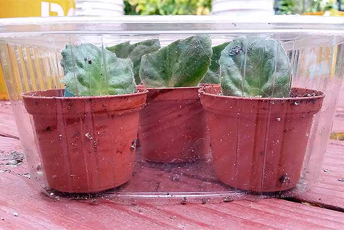 Tips for Propagating African Violets | GardenersPath.com