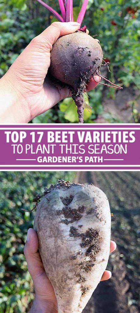 Thinking of planting some new beet varieties in your backyard garden? In this informative article from Gardener's Path, get recommendations for 16 types that come in many shapes, sizes, and a rainbow of colors.