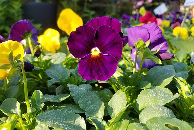 Purple and yellow Viola tricolor flowers | GardenersPath.com