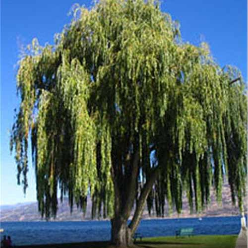 Weeping Willow Tree | GardenersPath.com