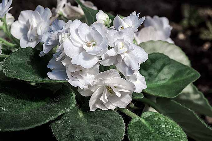 White African Violet (Saintpaulia) | GardenersPath.com