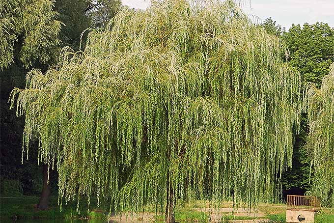 Willows Grow Fast and Provide Shade | GardenersPath.com