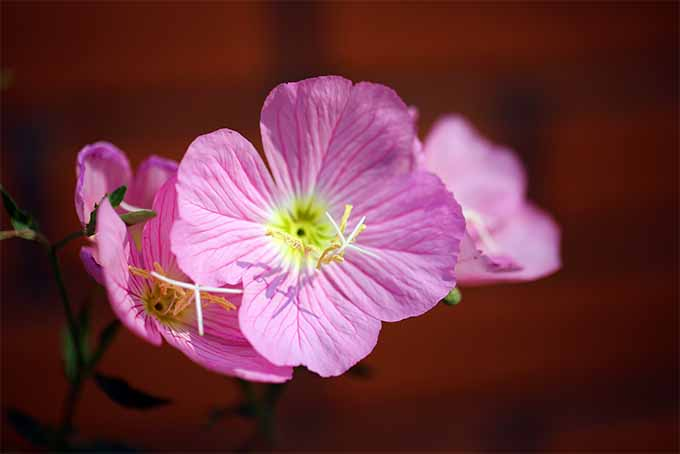 Many evening primrose varieties are drought tolerant | GardenersPath.com