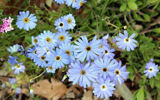 A Gift From Down Under: Swan River Daisy