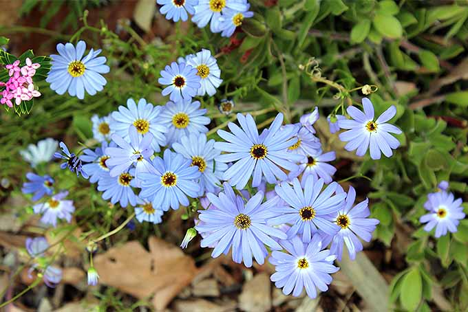 A close up horizontal image of bright blue swan river daisies growing in the garden with foliage in soft focus in the background.