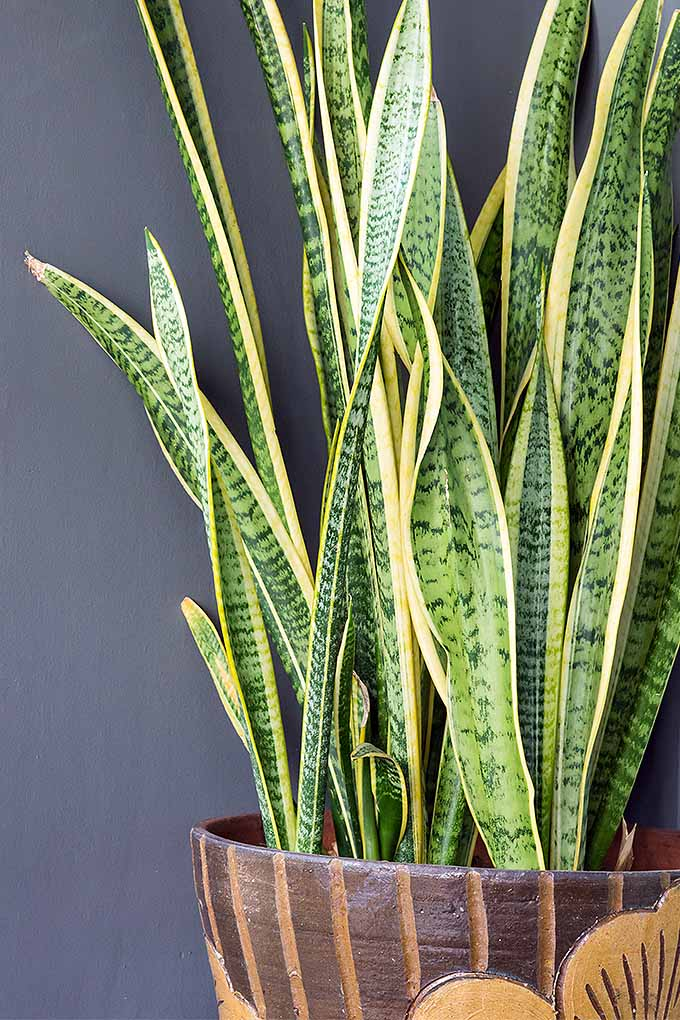 You'll quickly become a pro at growing snake plants and other easy-care indoor favorites with our Guide to Basic Care of Durable Houseplants: https://gardenerspath.com/how-to/indoor-gardening/houseplant-care-primer/