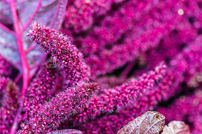 Dramatic blooms of love lies bleeding | GardenersPath.com