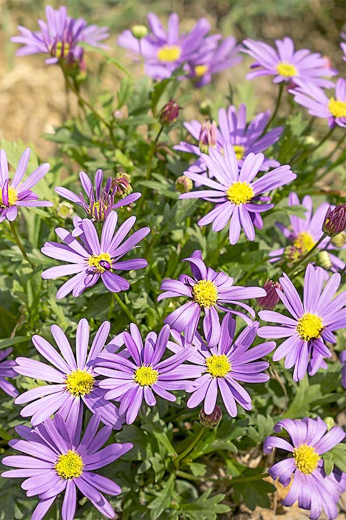 Brachyscome Iberidifolia flowers come in a variety of colors. Want to grow them in your garden? We'll teach you how: https://gardenerspath.com/plants/flowers/grow-swan-river-daisy/