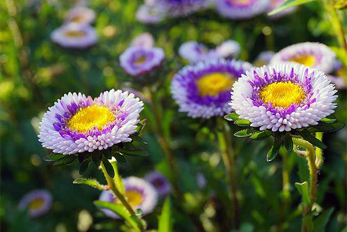 Purple and white Callistephus chinensis 'Blue Moon' flowers | GardenersPath.com