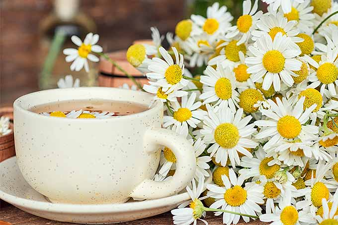 Chamomile Tea | GardenersPath.com
