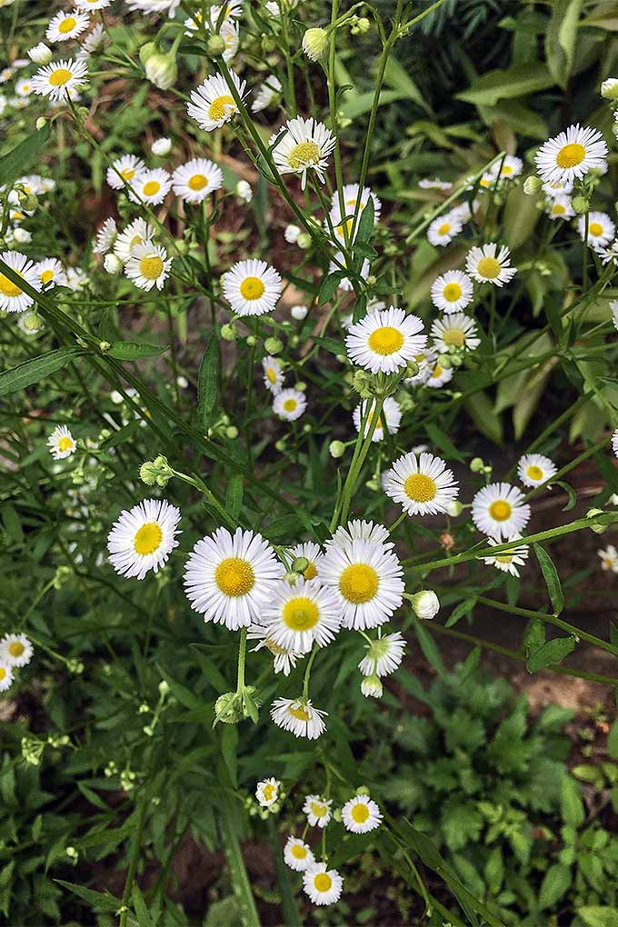 Chamomile makes a beautiful addition to the garden, and a soothing herbal tea. Grow your own with our advice: https://gardenerspath.com/plants/flowers/grow-chamomile/