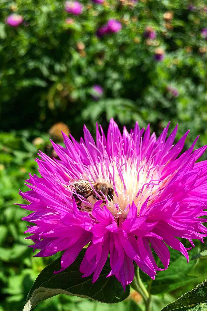 Grow China aster to attract happy pollinators to your garden. Read our tips now, or Pin It for later: https://gardenerspath.com/plants/flowers/grow-china-aster/